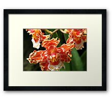 Orange & White Orchid (cambria & odontoglossum hybrid) Framed Print