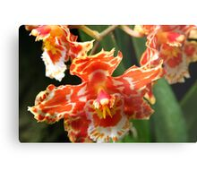 Orange & White Orchid (cambria & odontoglossum hybrid) Metal Print