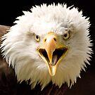 Bald Eagle Screaming by mrshutterbug