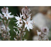 Flowers of Capo Caccia (Sardinia, Italy) Photographic Print