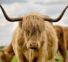 Highland Cow - Staring Competition! by Steven  Lee