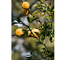 quince Photographic Print