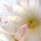 Echinopsis seminudus by LouJay