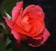 Peach princess close-up by ♥⊱ B. Randi Bailey