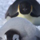 Emperor Penguins 9 - Merry Christmas Card by Steve Bulford