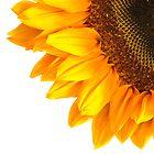 Sunflower -  A summers shot by StuartGLoch