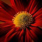 Red Petals by StuartGLoch