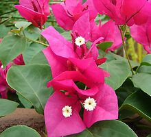 Beautiful Bougainvillea by Lorraine Armstrong