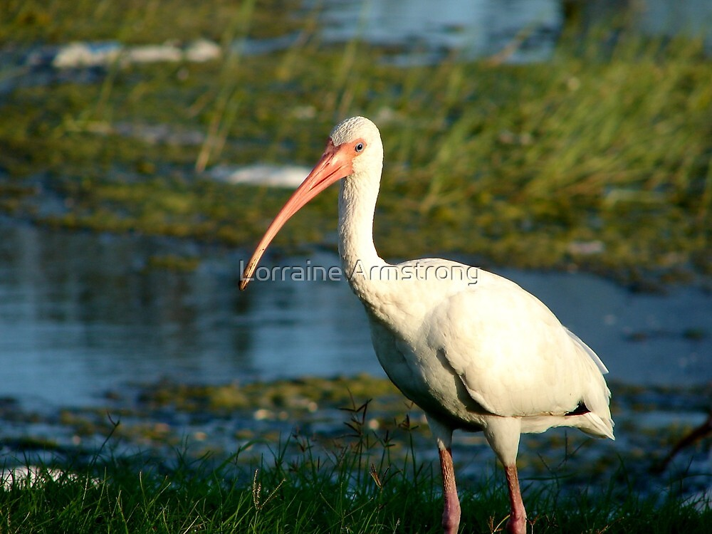 Ibis 2 by Lorraine Armstrong
