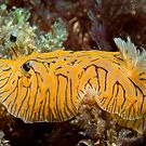 Halgerda willeyi, Lord Howe Island by Erik Schlogl
