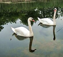 Swans on the peaceful lake by robertpatrick