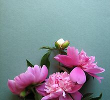 pink peony blooms on green background by OlgaBerlet