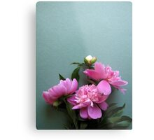 pink peony blooms on green background Metal Print
