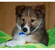 Sheltie Puppy Photographic Print