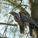 Tawny Frogmouth Pair by byronbackyard