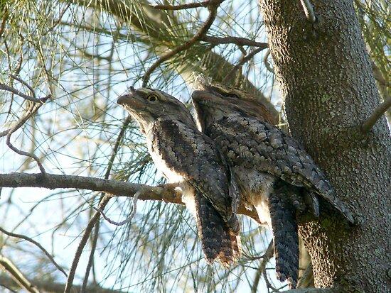 Tawny Frogmouth Pair by byronbackyard