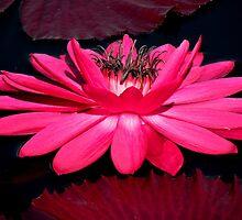 Very Pink by Rosalie Scanlon