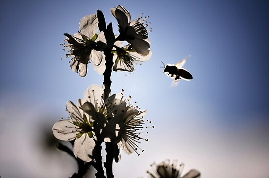 Flight of the Bumblebee by Nico Kenderessy