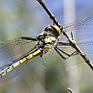 day of the dragonfly by Rick Playle