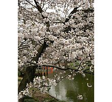 Cherry blossoms and temple gate Photographic Print
