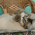 usual somali kitten relaxing  by sarahnewton