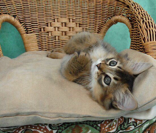usual somali kitten relaxing  by sarahnewton