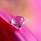 Water drop on pink gerbera. by MayJ