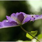 Spider in Clematis by Nugrahini Tj.