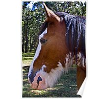clydesdale charmer Poster