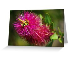 Callistemon Violaceous  Greeting Card