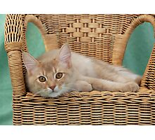 fawn somali cat resting on a wicker chair Photographic Print