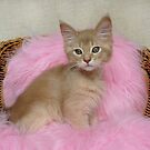 fawn somali kitten on a pink cushion by sarahnewton