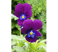 The Pansy Twins Photographic Print