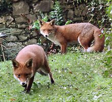 Urban Foxes by Linda More