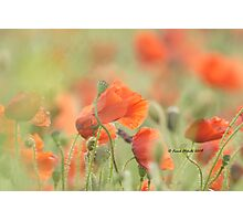 Wild Poppies 1 - Compton Abbas, Devon Photographic Print
