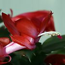 Christmas Cactus by ericb