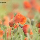 Wild Poppies 1, copy 2, Compton Abbas, Devon by Frank Etchells