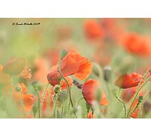 Wild Poppies 1, copy 2, Compton Abbas, Devon Photographic Print