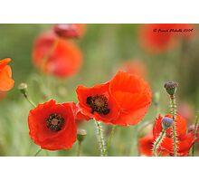 Wild Poppies 2, Compton Abbas, Devon Photographic Print