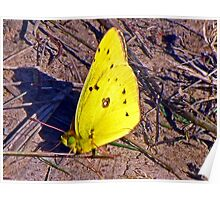 Western Clouded Sulphur  (Colias philodice) Poster