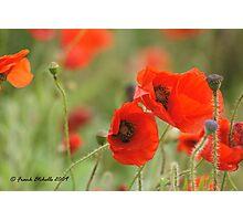 Wild Poppies 5, Compton Abbas, Devon Photographic Print