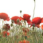 Poppies from a Virginia roadside by Laurie McCarriar