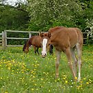 foal and mother grazing together by sarahnewton