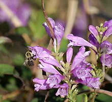 Obedient Plant - Physostegia virginiana by rd Erickson