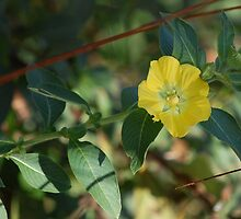 Large flower Primrose-Willow, Ludwigia grandiflora by rd Erickson