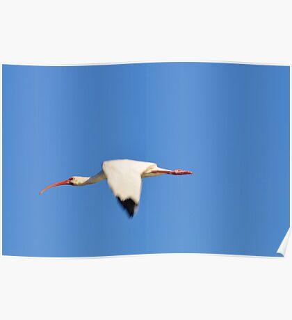 Flying Ibis - Debary, FL. Poster