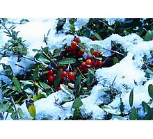 Holly Bush Covered in Snow Photographic Print