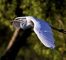 1100908 Great White Egret by Marvin Collins