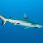 Reef Shark - Norman Reef by Ryan Pedlow