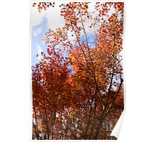 Red Maple Poster